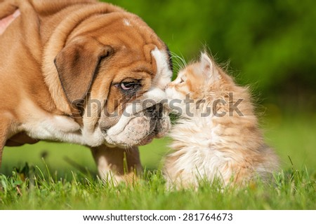 English bulldog puppy with a little kitten - stock photo
