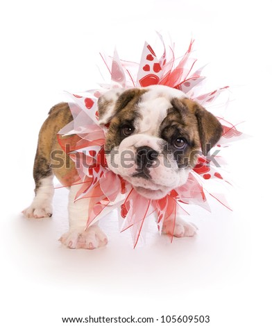 English Bulldog puppy with red and white heart necklace isolated on white - stock photo