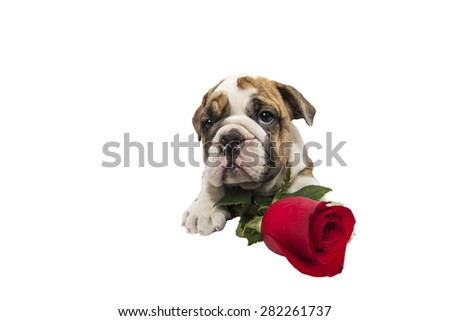 English bulldog puppy with valentine rose isolated on white background. - stock photo
