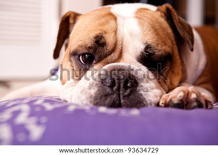English Bulldog resting on a lilac bed looking at the camera - stock photo