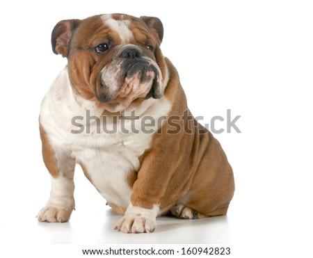 english bulldog sitting looking to the side isolated on white background - stock photo