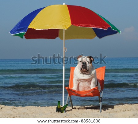 English bulldog sitting on the beach under parasol with a beer. - stock photo