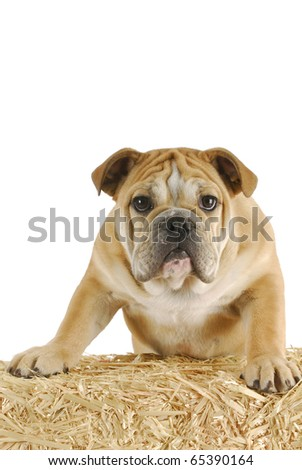 english bulldog standing on a bale of straw on white background - stock photo