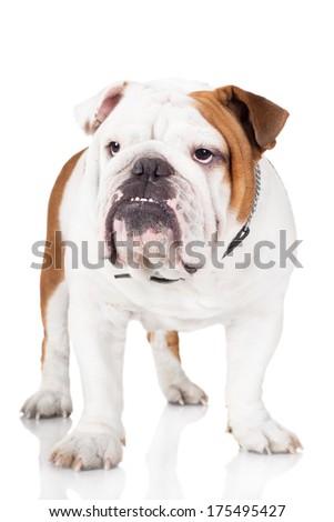 english bulldog standing on white - stock photo