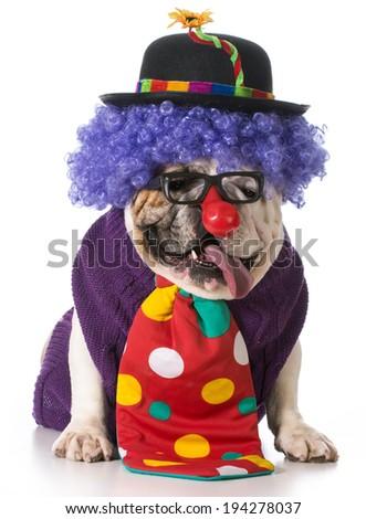 english bulldog wearing clown costume - stock photo