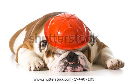 english bulldog wearing fireman hat on white background - stock photo