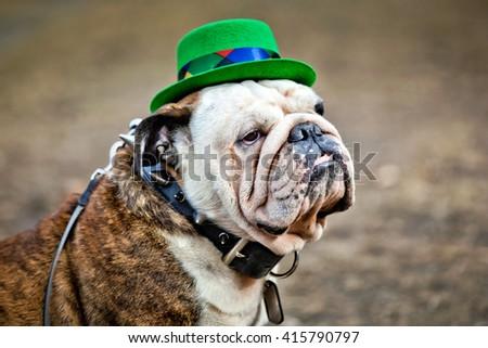 English bulldog wearing St Patrick's Day hat on dark background - stock photo