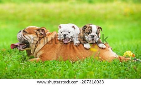 English bulldog with puppies - stock photo