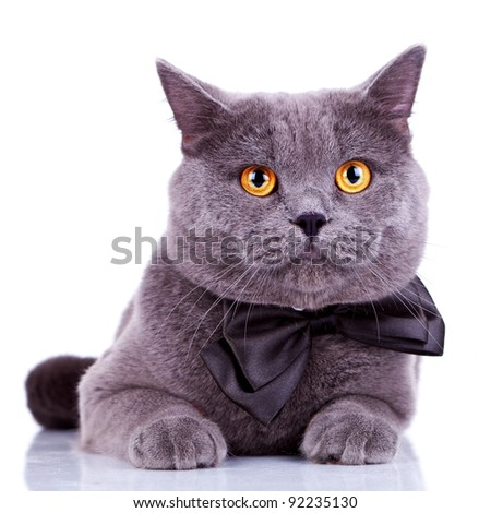english cat with big orange eyes, wearing a bow tie on white background - stock photo