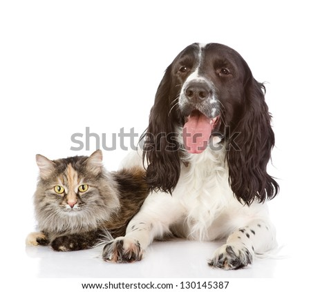 English Cocker Spaniel dog and cat together. isolated on white background - stock photo
