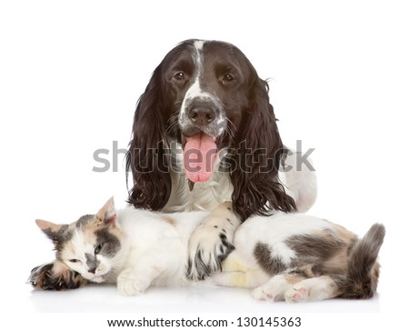 English Cocker Spaniel dog and kitten together. isolated on white background - stock photo