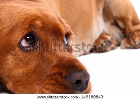 English cocker spaniel dog lying, isolated on white background. - stock photo