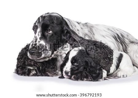 English cocker spaniel dog sleeping with its puppy - stock photo