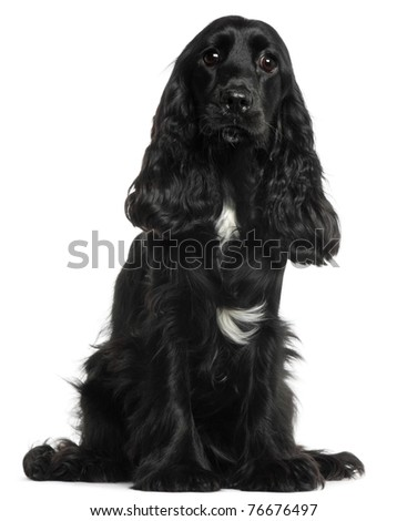 English Cocker Spaniel, 8 months old, sitting in front of white background - stock photo