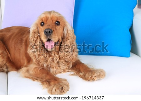 English cocker spaniel on sofa in room - stock photo
