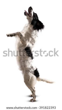 English Cocker Spaniel Puppy. - stock photo