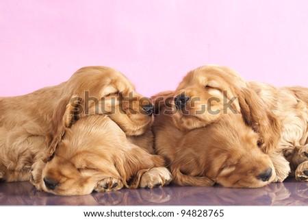 English Cocker spaniel  puppy sleeping - stock photo