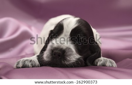 English Cocker Spaniel Puppy. Three weeks old. - stock photo