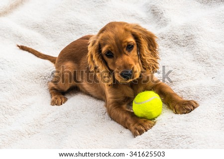 English cocker spaniel puppy with yellow tennis ball isolated on white blanket background - stock photo