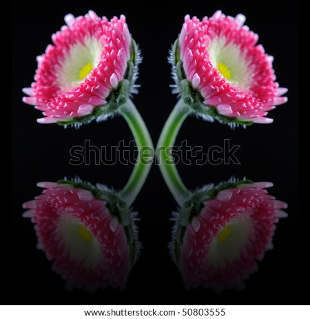 English Daisy (Bellis Perennis) - Asteraceae - With Reflections - stock photo