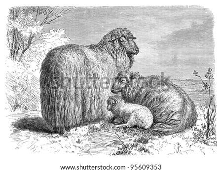 English Leicester sheep / vintage illustration from Meyers Konversations-Lexikon 1897 - stock photo