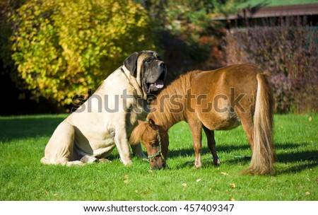 English Mastiff and mini horse - stock photo