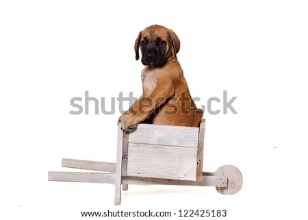 English Mastiff puppy sitting in a wooden old wagon. Isolated on a white background. - stock photo