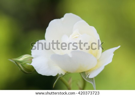 English rose from David Austin English Rose collection, Claire Austin, in bud. - stock photo