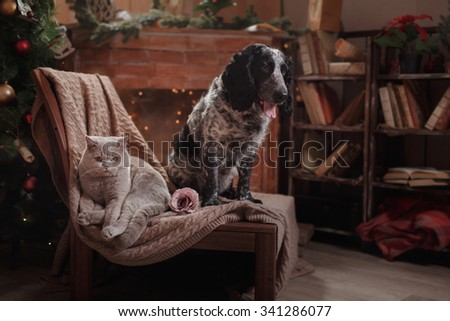 English Spaniel portrait and Gray british cat  on a studio background, Christmas and New Year - stock photo