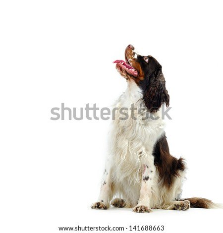 English Springer-spaniel  - stock photo
