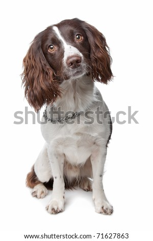 English Springer Spaniel - stock photo