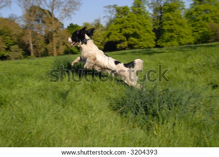 English Springer Spaniel flying through the air in long grass. - stock photo