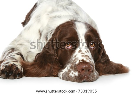 English Springer Spaniel lying on a white background - stock photo