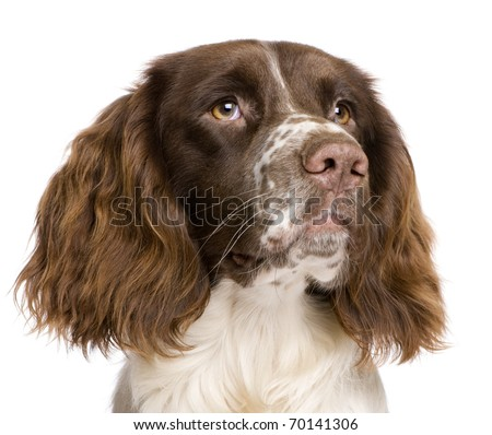 English Springer Spaniel, 10 months old, in front of a white background - stock photo