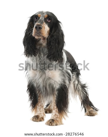 English Springer Spaniel (2 years old) in front of a white background - stock photo