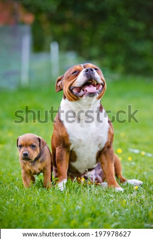 english staffordshire bull terrier dog with a puppy - stock photo