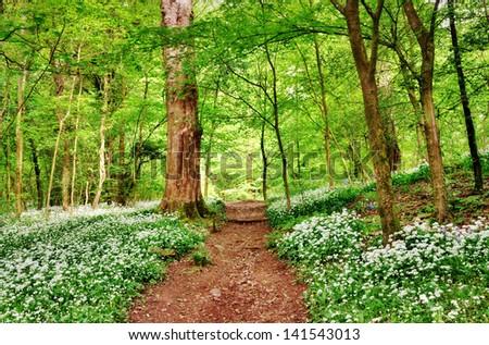English woodland scene with wild garlic - stock photo