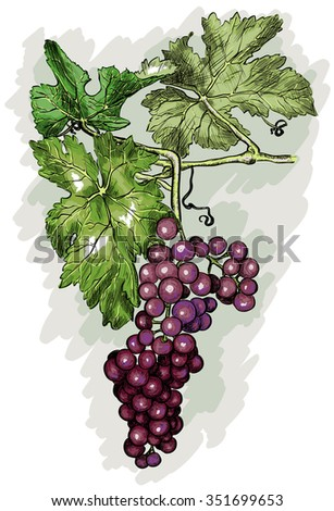 engraving grapes on the branch. Raster version  - stock photo