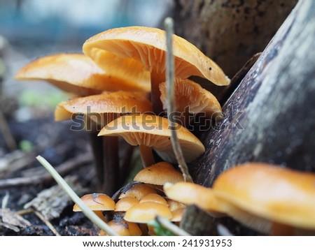 enoki mushroom flammulina velutipes on tree background - stock photo