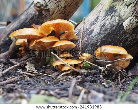 enoki mushroom flammulina velutipes on tree background - stock photo