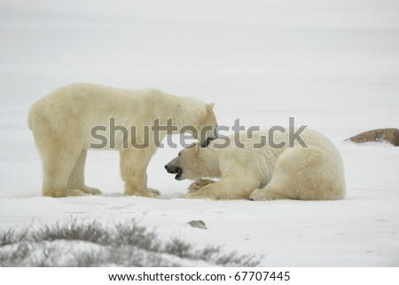 Entertainments of polar bears. Two polar bears struggle on snow. - stock photo