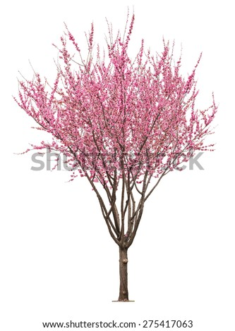 entire flowering sacura tree isolated on white background  - stock photo