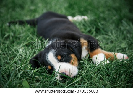 entlebuhera puppy sleeping on the green grass tired of the games - stock photo