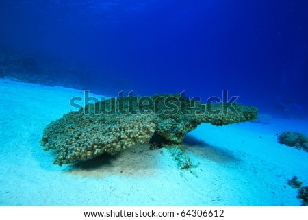 Environmental Problem - a dead Acropora Table Coral killed by rising sea temperatures and pollution - stock photo