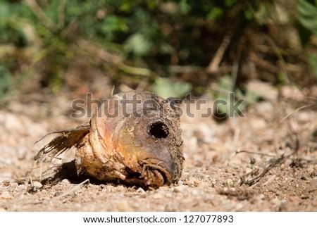 Eoropean carp head - stock photo