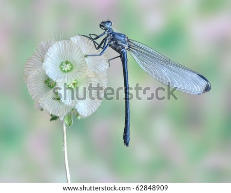 Epallage fatime (male) - stock photo