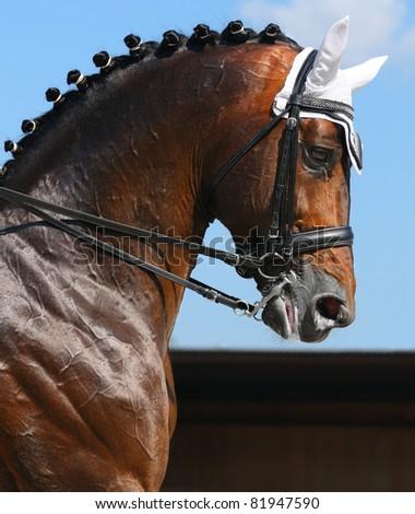 Equestrian sport - dressage / head of bay horse - stock photo