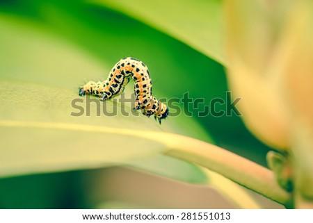 Erannis defoliaria caterpillar in the garden - stock photo