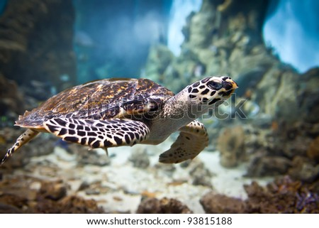 Eretmochelys imbricata floats under water - stock photo