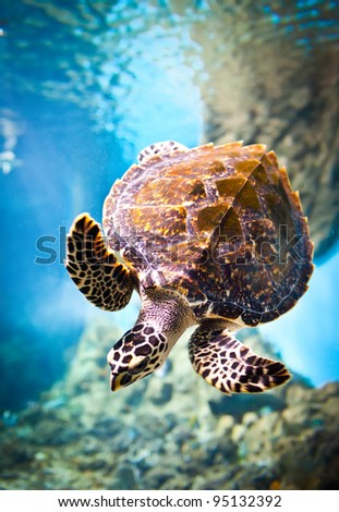 Eretmochelys imbricata floats under water - stock photo